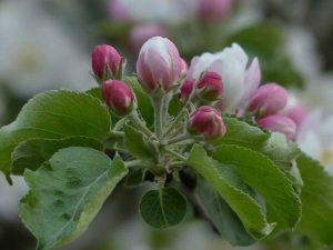 Jabuka-cvet